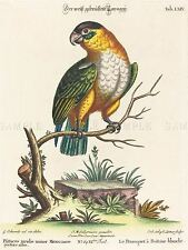 LEITNER EDWARDS GERMAN MEXICAN PARAKEET ZOOLOGY PRINT POSTER BB6018A