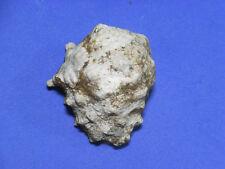 Fomorsa/shells/Drupa rubusidaeus 36mm.w/o.Taiwan