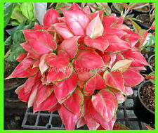 "Perfect Aglaonema ""RED ZIRCON"" Nice Red Leaf ,Beautiful Compact Form Don't miss!"