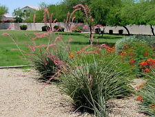 """Large Adult Red Yucca Plant 12""""-16"""" Tall Plant Xeriscape Desert"""