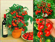 "30 Seeds Upright ""Tiny Tim"" Tomato Dwarf Bonsai Compact Heavy Yielder Plant seed"