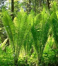 Ostrich Fern Matteuccia struthiopteris - 400 fresh spores - Hardy Shade
