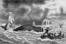 PÊCHE de la BALEINE: HARPONNEMENT - Gravure du 19e siècle