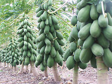 PAPAYA SEEDS - Dwarf Variety Huge Production Hybrid Seed - Pack of 50 Seeds.