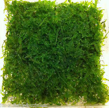 "Triangle Moss  Pad 5x4.5cm "" Vesicularia Sp "" Live Aquarium Plants Shrimp"