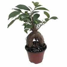 "Chinese Banyan Tree - Green Island Weeping Fig Tree - Ficus - 4"" Pot"