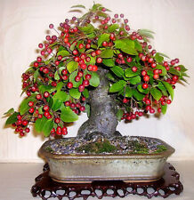 20x John Downy crab apple seeds bonsai garden trees edible hardy pretty blossom
