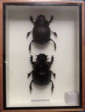 2 REAL HUGH INSECTS SCARAB DUNG BEETLE HELIOCOPRIS DOMINUS BUG TAXIDERMY INSECT