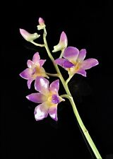 Preserved Lacquered Dendrobium Orchid, 3 Blossom Stem, Lilac, in Gift Box