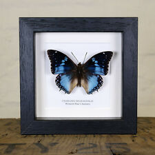 Western Blue Charaxes Real Butterfly in Box Frame (Charaxes smaragdalis)