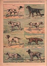 Dogs Chiens Pointer Setter Gordon Braque Epagneul Griffon 1899 ILLUSTRATION