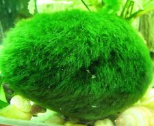 XXXL BIG Marimo Moss Ball Aquarium Fresh Water Live Plant Giant 10cm