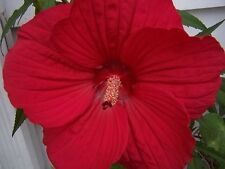 15+ Red Hibiscus Dinnerplate Flower Seeds /  Perennial