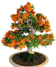 SEA BUCKTHORN - Hippophae rhamnoides - 70 seeds BONSAI - SOW ALL YEAR