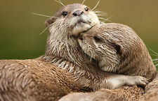 Framed Print - Two Loving Otters (Picture Poster Wild Animal Beaver Weasel Art)