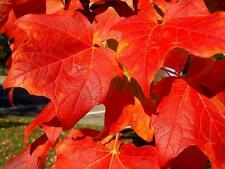20 RED MAPLE SEEDS - Acer rubrum