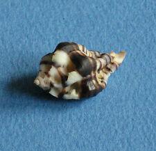 Shell Maxwellia gemma 29mm F+++ W/O Seashell Murex