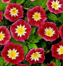 "75+ HEIRLOOM FLOWER SEEDS - MORNING GLORY - ""ENSIGN RED""  DWARF VINE - NON-GMO"