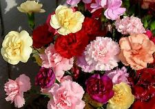 0.2g (approx. 100) carnation chabaud seeds DIANTHUS CARYOPHYLLUS CHABAUD mixed