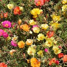 Portulaca Grandiflora - 1000 Seeds - Single Mix  -  Mexican rose / Purslane