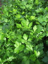 GIANT ITALIAN FLAT LEAF PARSLEY Petroselinum Crispum Vegetable Herb 50 Seeds