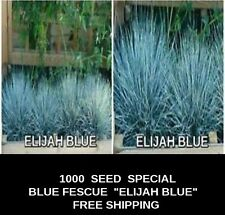 "SEED SALE  BLUE FESCUE  Grass ""Elijah Blue""   1000 Seeds FREE SHIPPING"