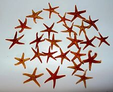 "TWENTY FIVE (25) 1-1/2 to 2"" FLORIDA STARFISH SEA SHELL  DECOR NAUTICAL TROPICAL"