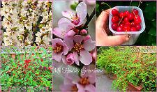 "5 Seeds Sweet Nanking Cherry ""Prunus tomentosa"" Beariing 12-15 lbs per bush!"