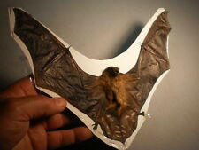 Taxidermy real bat flying  mount Scotophilus kuhlii perfect specimen