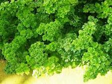 Parsley, Forest Green Parsely Seed, Organic , NON-GMO, 25 seeds per package,