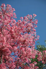 Toona sinensis - Chinese toon tree - Flamingo- 10 seeds