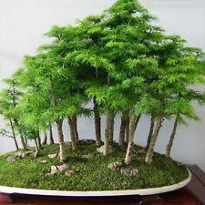 60pcs Bonsai Japanese White Pine Samen Pinus Parviflora Grünpflanzen Baum