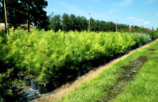 5 Live Loblolly Pine Trees Seedlings 12-18 Inches