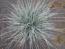 Festuca Glauca. Evergreen Grass. Narrow Silver Blue Leaves. 9cms pot