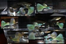 Pair Of Silver Blue Metalhead SS Guppies! FREE SHIPPING!