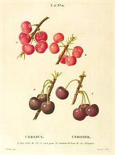 KIRSCHEN - Cerasus / Cerasier - Redoute - Farbkupferstich 1812