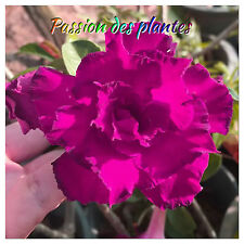 Adenium (Obesum)  5 Graines Bluepurple seeds News