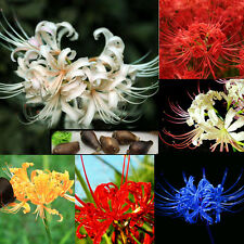 5 Bulbs Lycoris Radiata, Spider lily, Lycoris Bulb Seeds Random Free Shipping