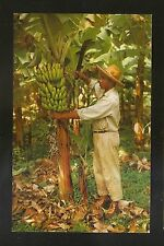 Vtg 1960's Postcard MARTINIQUE - THE BANANA TREE AND ITS BUNCH
