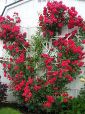 Climbing Rose(1 Plant) Border, Cut Flowers,Ornamental, Outdoor, Vines