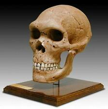 "Neanderthal Hominid Skull Fossil Full Scale Model Replica w/Stand 9"" x 6"" x 9"""