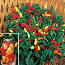 25 SWEET PICKLE PEPPER SEEDS, Capsicum  + *FREE GIFT*