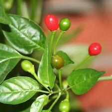 Pea rote Chilli mit erbsengroßen Früchten mittelscharfe Chili für Gewürzmühle