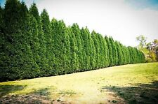 (100) Murray Cypress Evergreen trees--8-10 inches tall