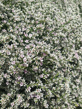 GERMAN STATICE (CS) * Goniolimon tataricum * GREAT EDGING & GROUND COVER * SEEDS