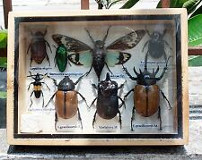 REAL EXOTIC INSECT DISPLAY SCORPION JEWEL BEETLE BUG CICADA TAXIDERMY GIFT 1