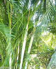 Lot 30 Areca Palm Seedling, Dypsis lutescens, Great indoors & air purification!!