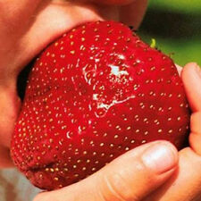 150Giant Wholesale Home Garden Strawberry Seeds Excellent High in Vitamin Fruit