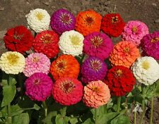 Zinnia Lilliput Mix Flower Seeds Pack of 30