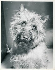 CAIRN TERRIER - Photo c. 1950 Chien Grand Format - CH 13